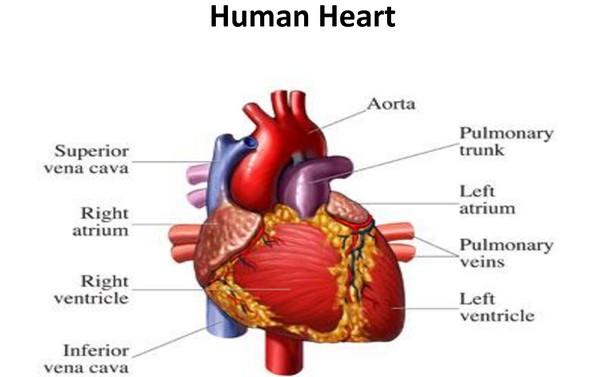 Diabetes damage your heart