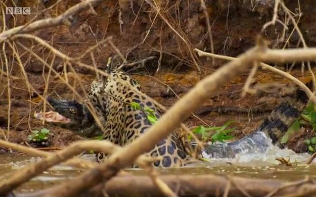 Jaguar crushes crocodile's skull in Planet Earth 2
